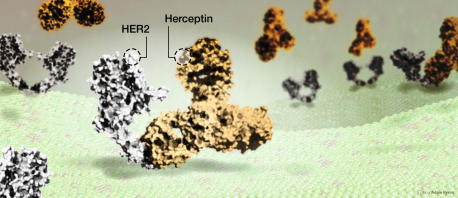 Herceptin, a HER2-targeted drug, attaching to HER2 protein on the surface of breast cancer cells to stop the cancer cells growing // Image by Adam Byron