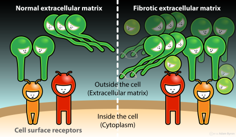 Fibrotic extracellular matrix // Image by Adam Byron