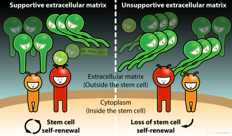 Sensing of the extracellular matrix controls the fate of stem cells // Image by Adam Byron