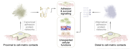 Adhesion protein networks close to and far from cell-matrix contacts // Image by Adam Byron // From Byron & Frame (2016) Current Opinion in Cell Biology 39, 93–100